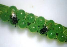 images parasit E. integr